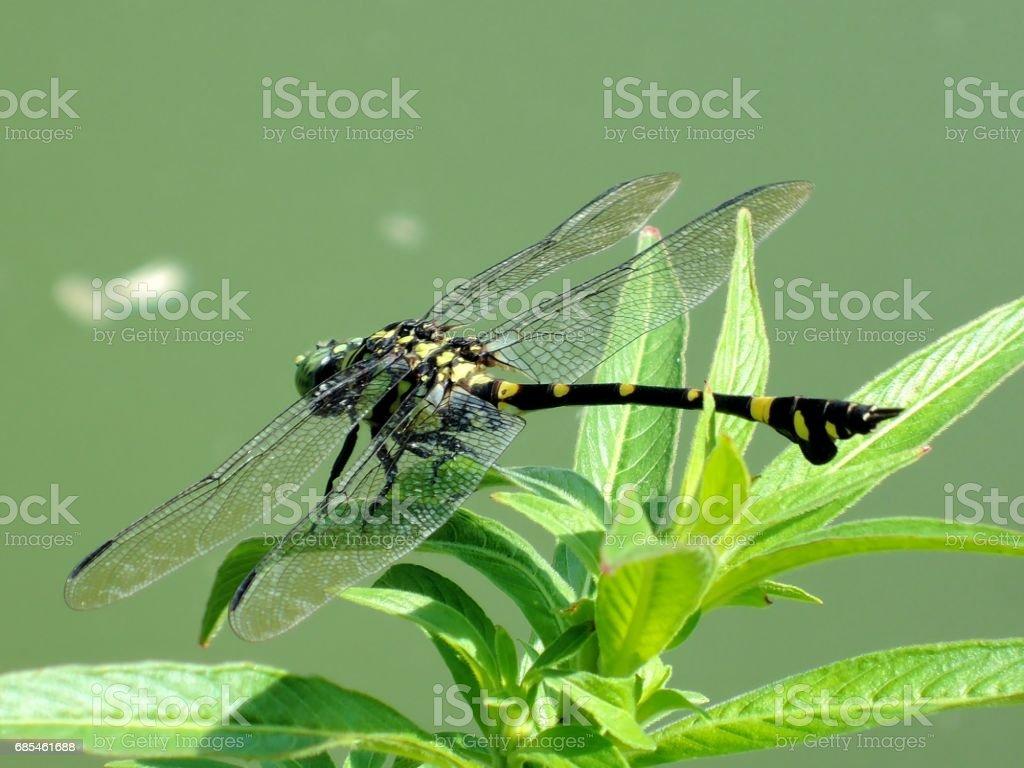 Ictinogomphus pertinax foto de stock royalty-free