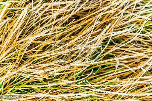 istock Icy frost on dry tall grass in Dolly Sods, West Virginia 839420886
