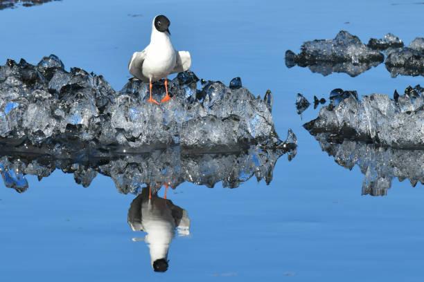 Icy gull stock photo