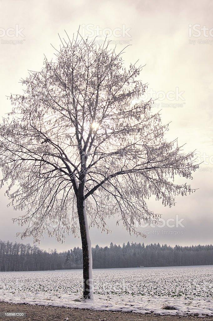 Icy Linden Tree stock photo