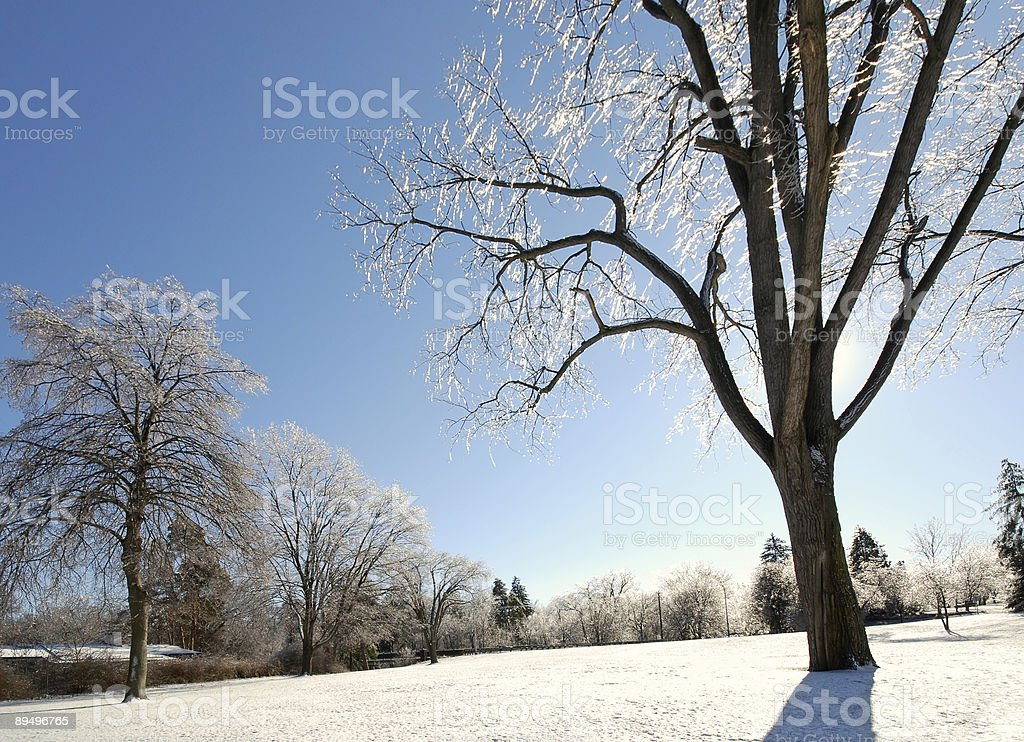 Icy Trees royalty-free stock photo
