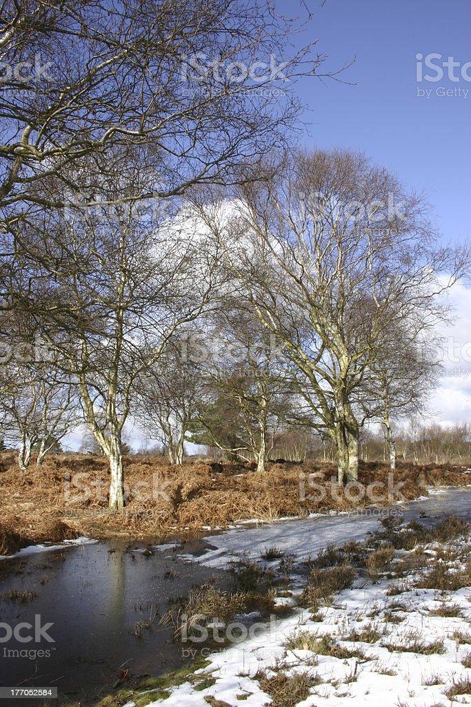 Icy woodland, Westleton Heath, Suffolk royalty-free stock photo