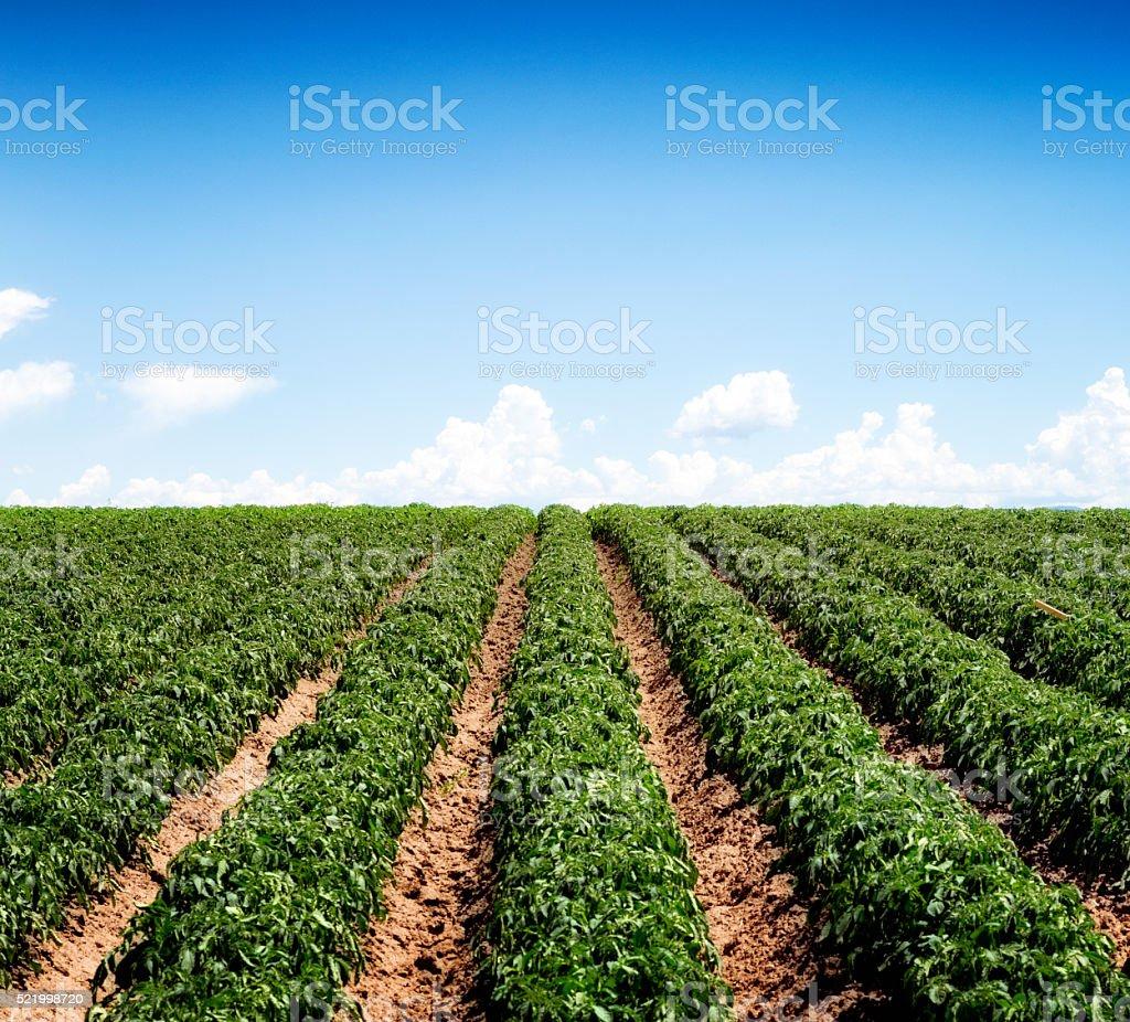 Idaho potato field in Spring stock photo