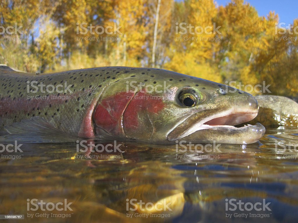 Idaho steelhead trout stock photo