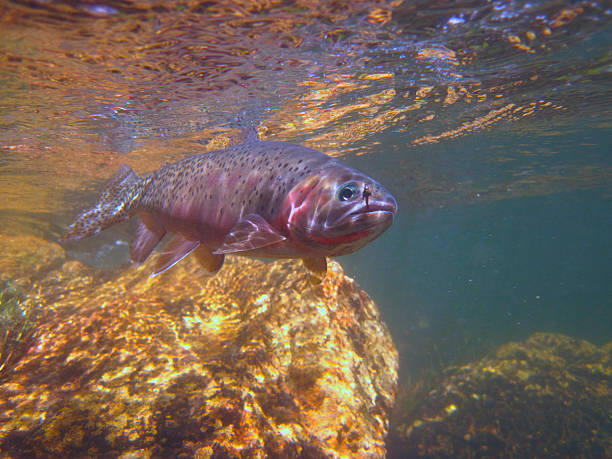 Idaho Westslope Cutthroat Trout Wild Idaho Cutthroat caught and released while fly fishing cutthroat stock pictures, royalty-free photos & images