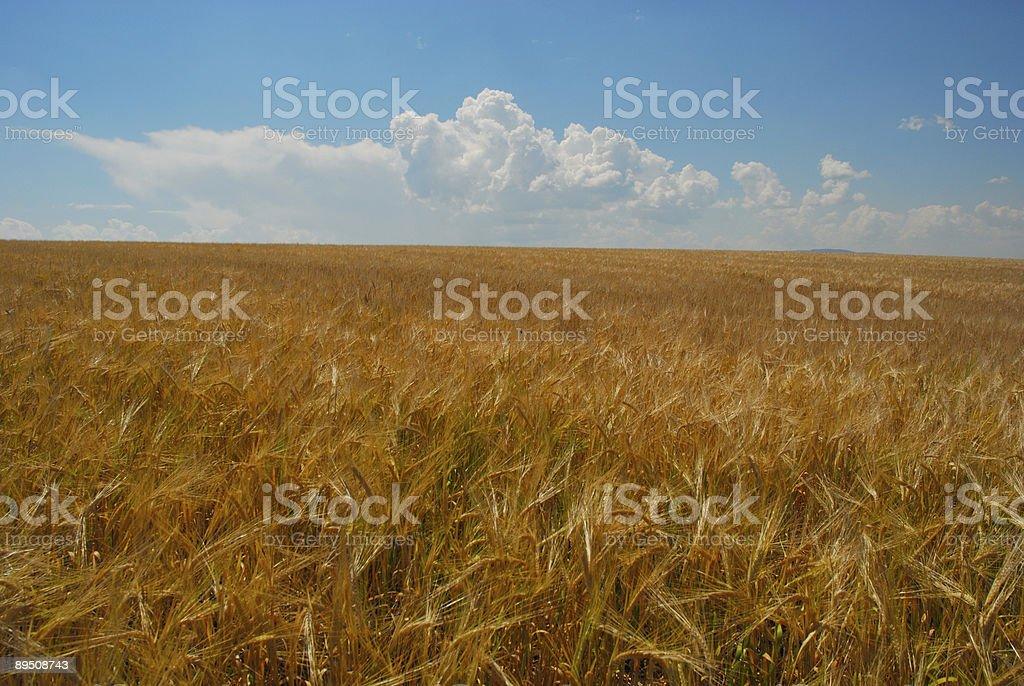 Idaho Wheat Field royalty-free stock photo