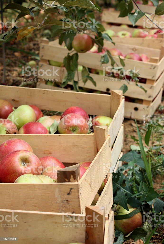 Idared Äpfel in Tragekörbe – Foto