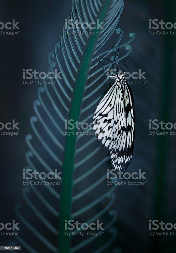 Idea leuconoe butterfly on a fern leaf stock photo