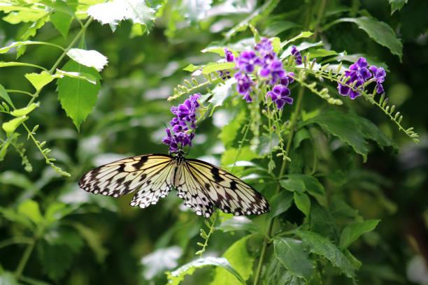 Idea leuconoe, paper kite, rice paper, tree nymph butterfly stock photo