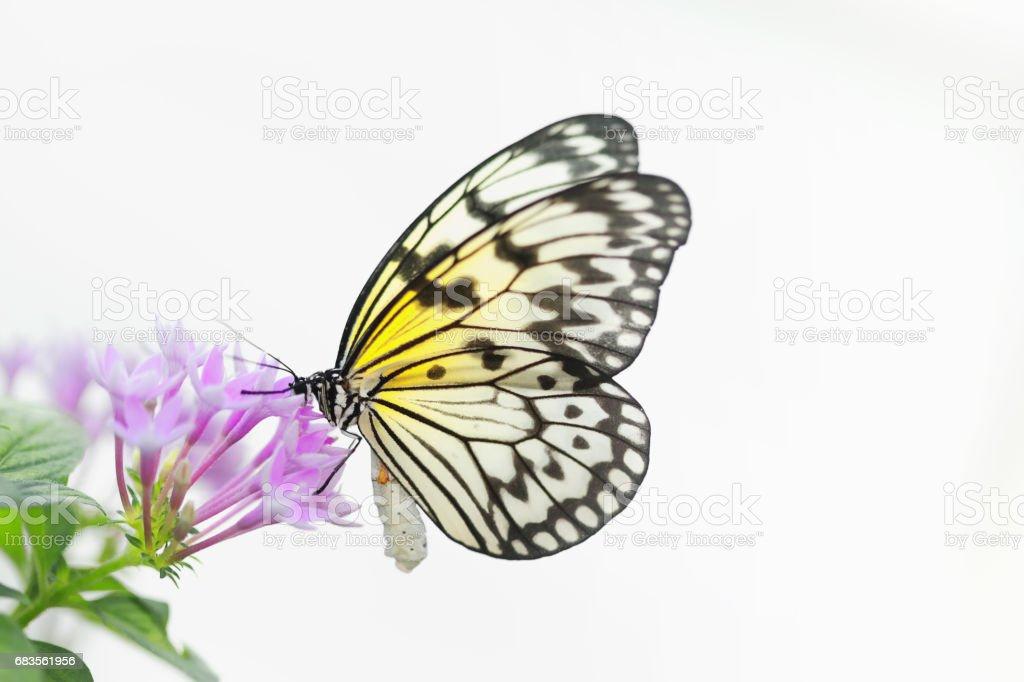Ideia leuconoe (papel asa borboleta - ninfa de árvore grande) - foto de acervo