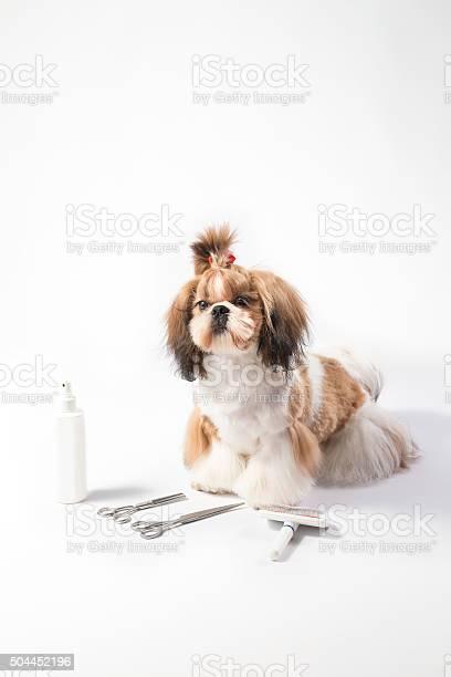 Ideal shihtzu beauty grooming puppy picture id504452196?b=1&k=6&m=504452196&s=612x612&h=ayh plgpakrczf9zvi7gd4k4f2lyztvq9unabwgwz 4=