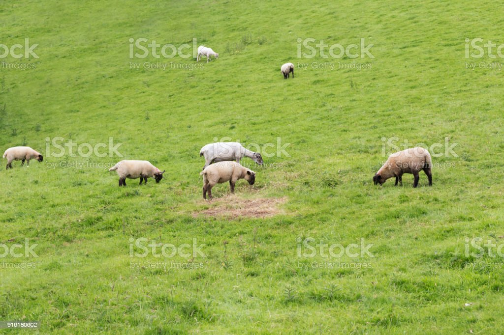 Idillic landscape sheep, lambs, ram on green grass stock photo