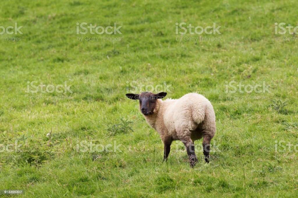 Idillic meadow landscape with sheep, lambs, ram stock photo