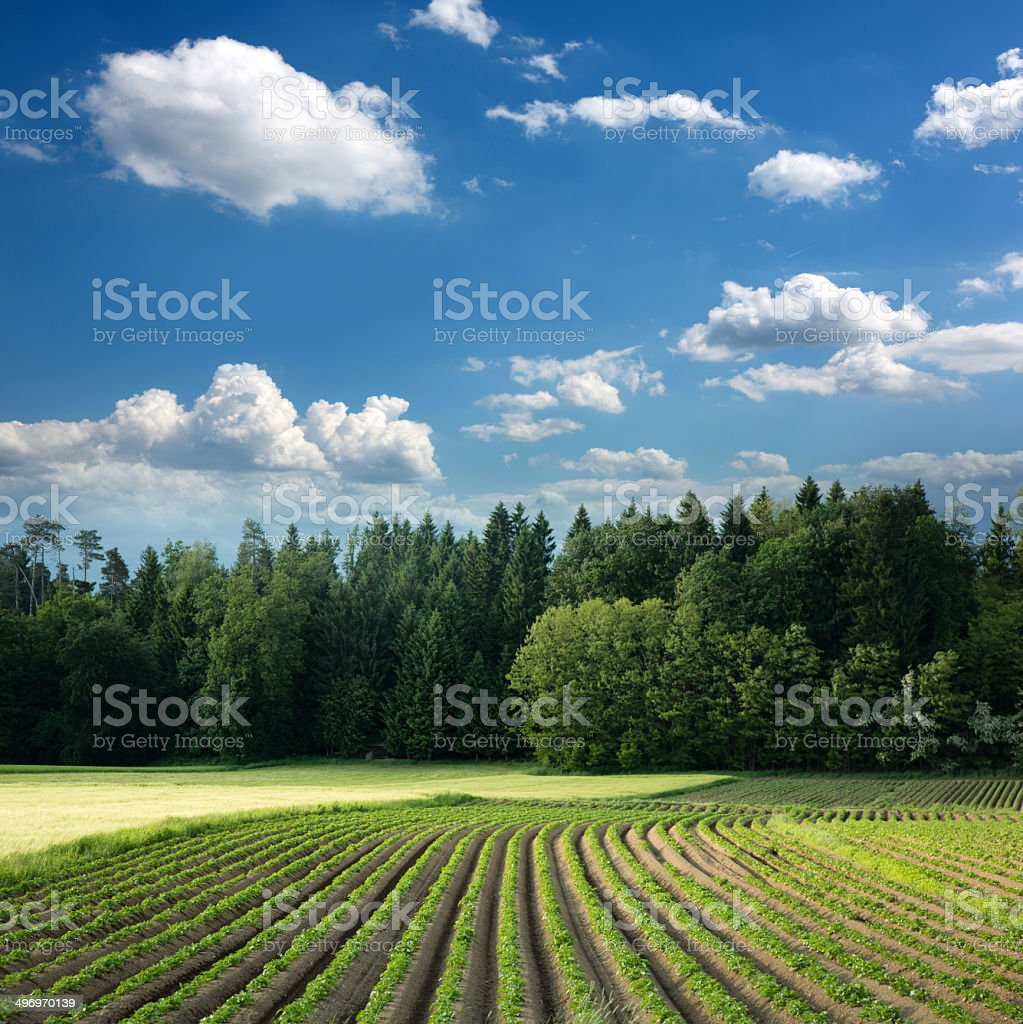 idylic potato field against forest periphery stock photo