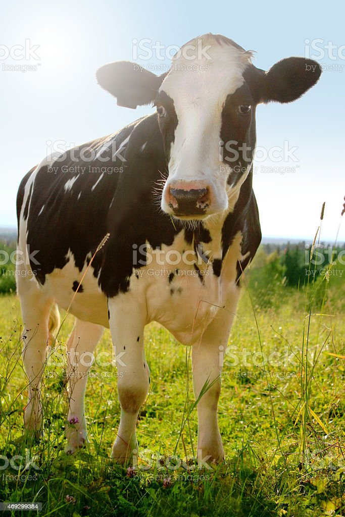 Idyllic agriculture photo of cow (holstein cattle) on farm meadow stock photo