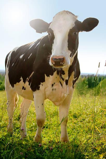 idyllic agriculture photo of cow (holstein cattle) on farm meadow - single pampas grass bildbanksfoton och bilder