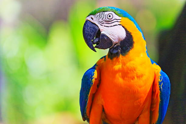 Safári de Animal Birdwatch idílica: pássaro bonito e curioso azul e papagaio amarelo arara tropical no fundo da natureza – zonas úmidas do Pantanal e Amazônia, Brasil - foto de acervo