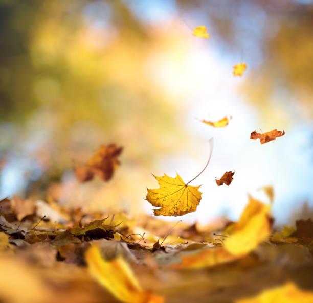 l'automne paradisiaque - feuillage automnal photos et images de collection