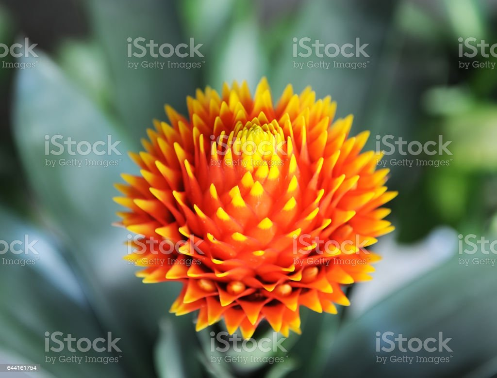 Idyllic Bromeliad Flower head blossom, delicate colorful plants – zdjęcie