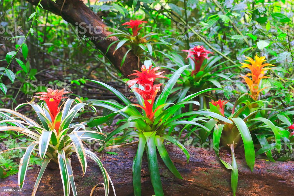 Idyllic Bromeliad Flower head Nidularium blossom bloom, delicate colorful plants - Beautiful Guzmania landscape - Botanical family: Bromeliaceae - Tropical plants in Brazilian Amazon rainforest and Pantanal Wetlands - Brazil – zdjęcie