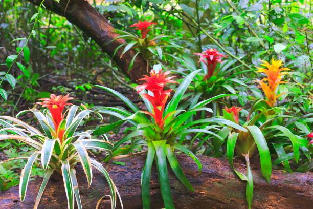 Idyllic Bromeliad Flower head Nidularium blossom bloom, delicate colorful plants - Beautiful Guzmania landscape - Botanical family: Bromeliaceae - Tropical plants in Brazilian Amazon rainforest and Pantanal Wetlands - Brazil stock photo