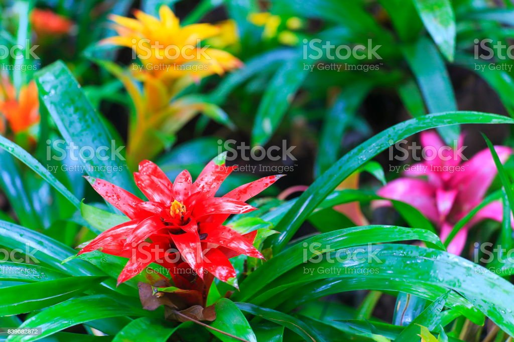 Idyllic Bromeliad Flower head Nidularium blossom bloom, delicate colorful plants - Beautiful Guzmania landscape - Botanical family: Bromeliaceae - Tropical plants in Brazilian Amazon rainforest and Pantanal Wetlands - Brazil stock photo