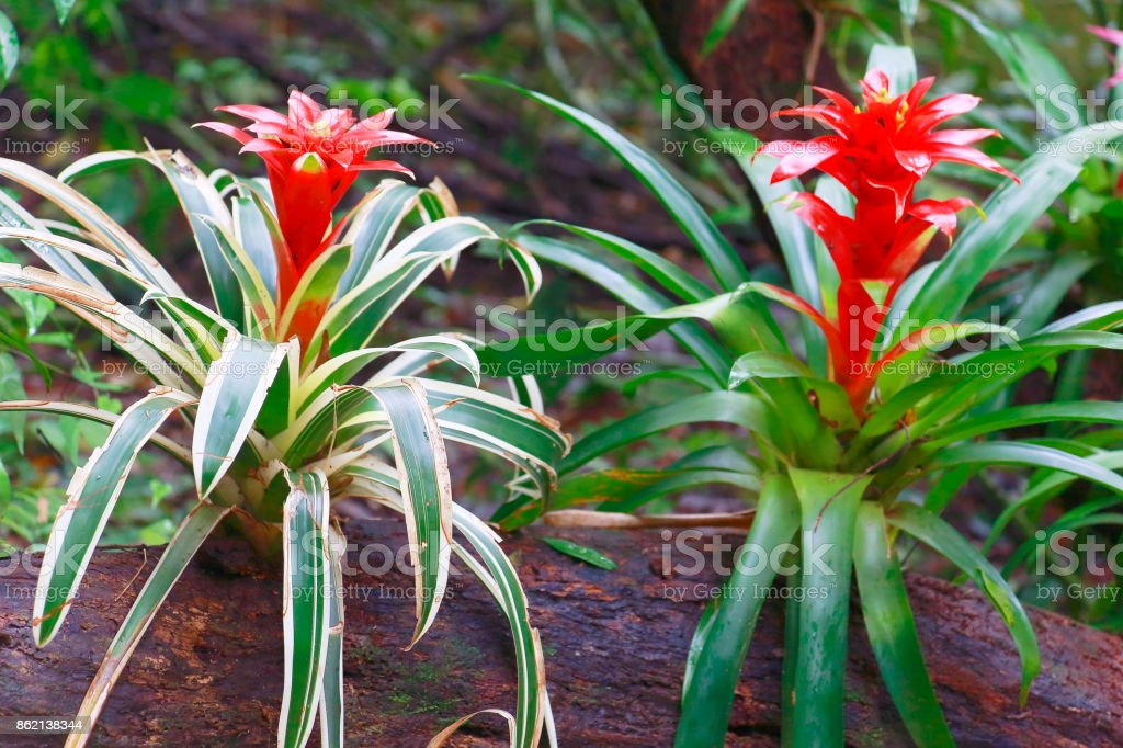 Idyllic Bromeliad Flower head Nidularium blossom bloom on a sterm tree trunk, delicate colorful plants - Beautiful Guzmania landscape - Botanical family: Bromeliaceae - Tropical plants in Brazilian Amazon rainforest and Pantanal Wetlands - Brazil – zdjęcie