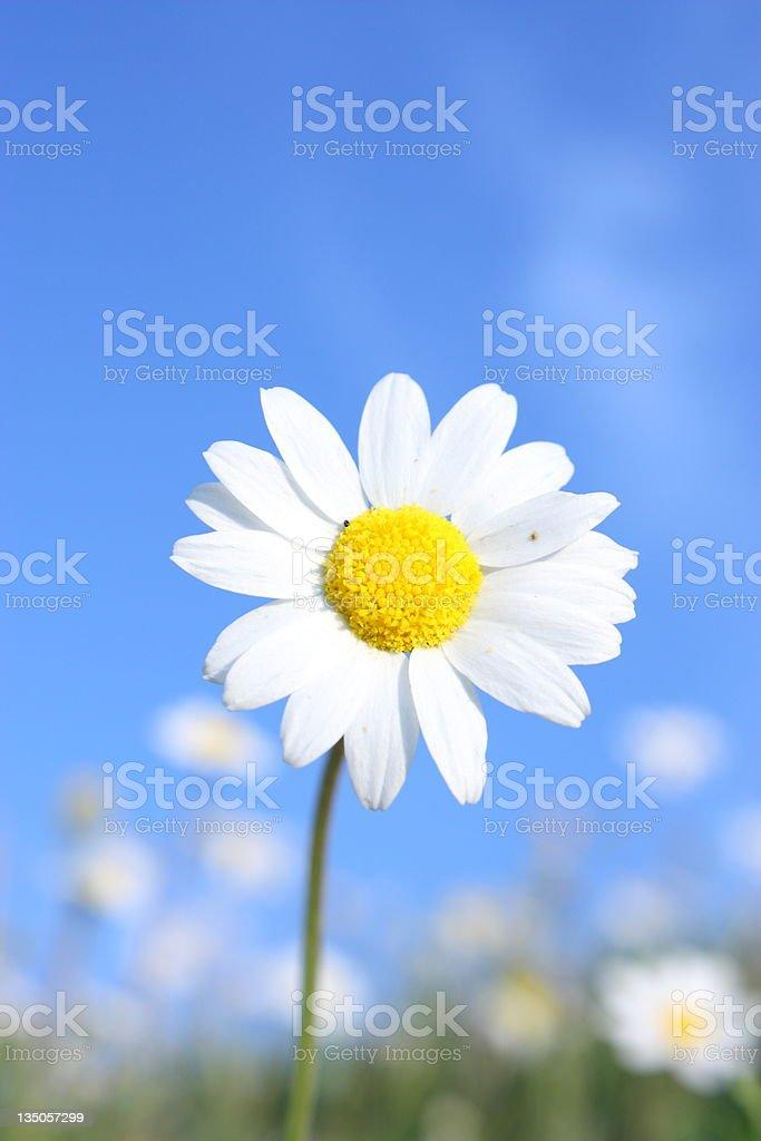 Idyllic daisy meadows summer skies royalty-free stock photo