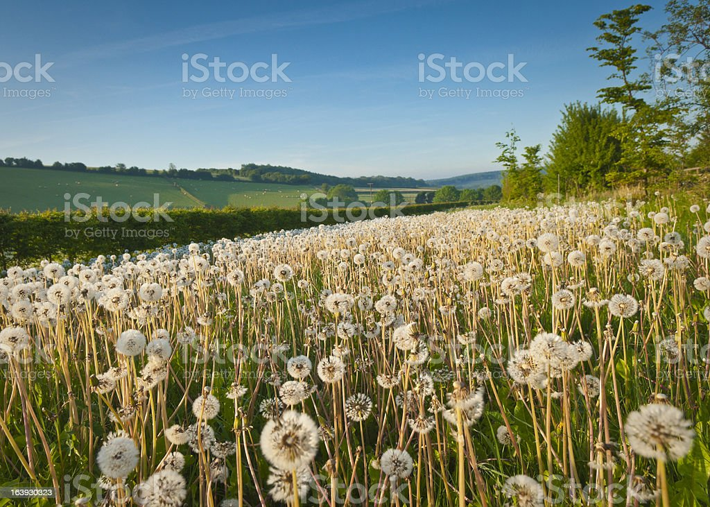 Idyllic Dandelion Field royalty-free stock photo