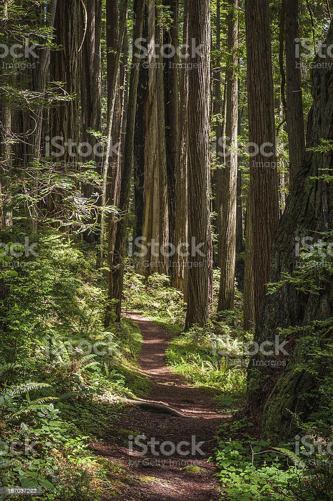 Idyllic earth trail through Redwood forest trees California USA stock photo