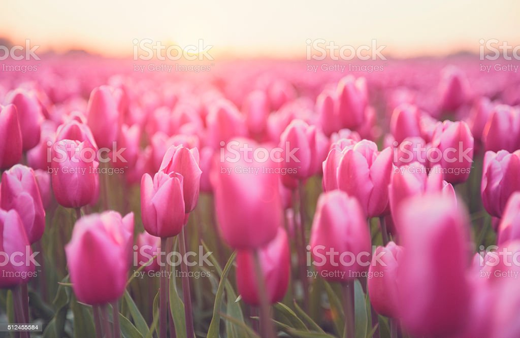 Idyllic field of  flowers and sunlight (Netherlands) stock photo