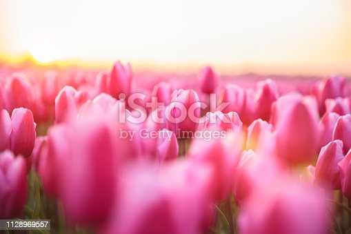 Idyllic field of pink tulips during sunset (Netherlands)