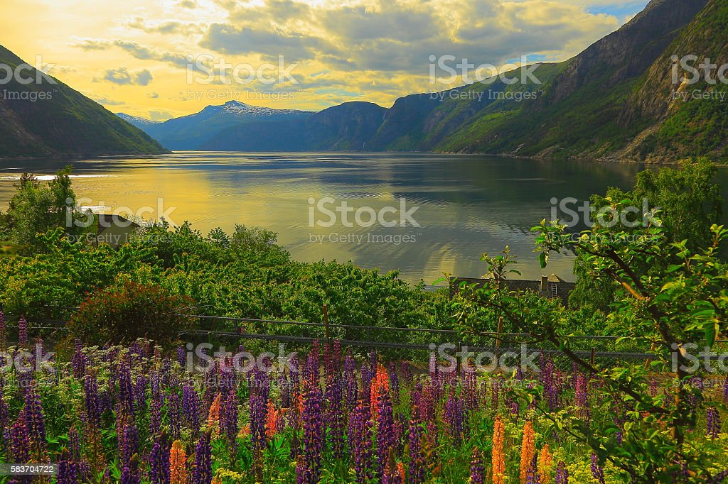 Idyllic fjord landscape reflection, lupine flowerbed, dramatic sunset, Norway, Scandinavia stock photo