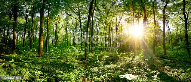 Beautiful forest panorama in spring with bright sun shining through the trees