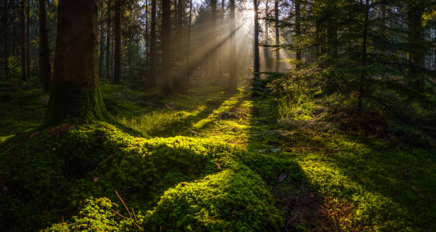 Idyllic forest glade mossy woodland golden rays of sunbeams panorama stock photo