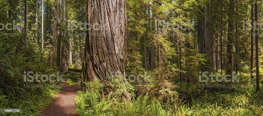 Idyllic forest trail through Giant Redwood grove California USA stock photo