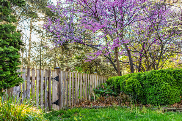 Idyllic garden in Virginia with wooden fence door gate entrance by bushes and redbud pink purple spring springtime flowers on tree and sun in sky with nobody stock photo