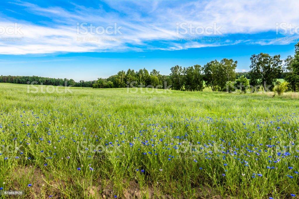 Idyllic green field landscape, cornflowers on field in the summer photo libre de droits