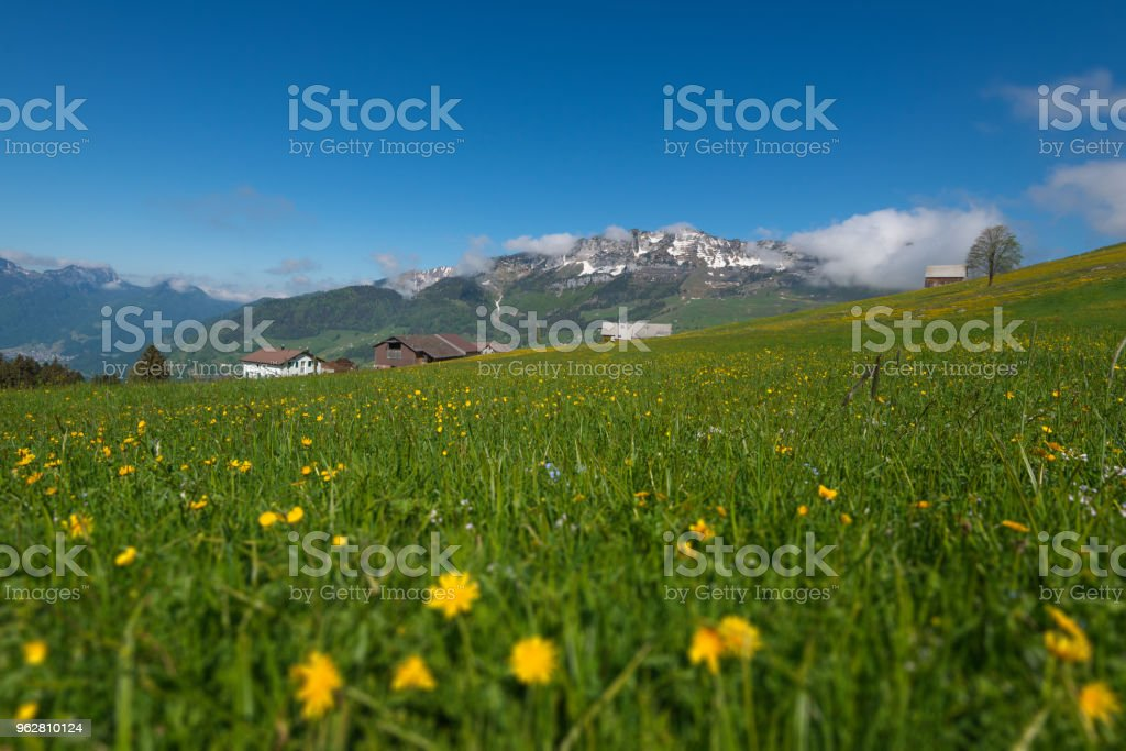 Idyllic landscape in the Alps with fresh green meadows and blooming flowers and snow-capped mountain tops in the background - Foto stock royalty-free di Agricoltura