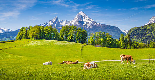 Idyllic landscape in the Alps with grazing cows in summer Idyllic summer landscape in the Alps with cow grazing on fresh green mountain pastures and snow capped mountain tops in the background, Nationalpark Berchtesgadener Land, Upper Bavaria, Germany. bavarian alps stock pictures, royalty-free photos & images