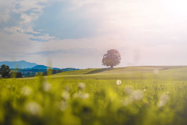 Idyllic landscape scenery in summer: Tree and green meadow, blue sky Tree is standing on a fresh green field. Nobody, idyllic landscape scenery central europe stock pictures, royalty-free photos & images