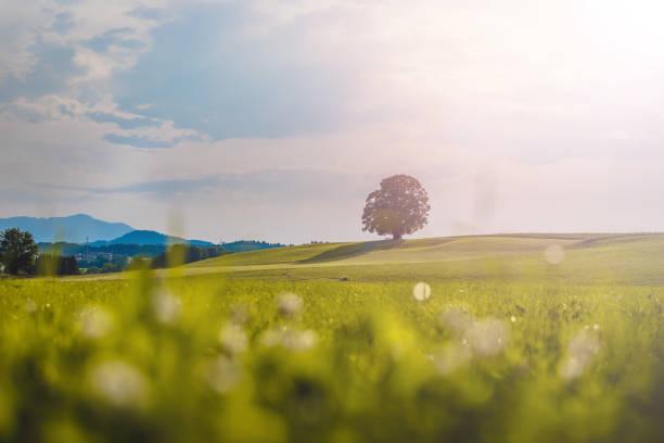 paysage idyllique en été : arbre et pré vert, ciel bleu - europe centrale photos et images de collection