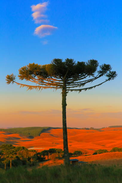 Idyllic landscape with Araucaria pine tree in the hills at gold colored sunrise, Southern Brazil stock photo
