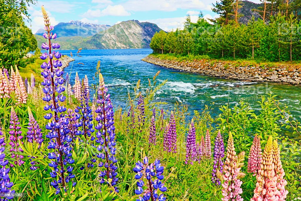 Free Flowers River Mountain: Idyllic Lupins Pea Flower Flowerbed River Stream Mountain