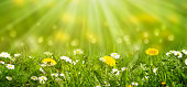 idyllic meadow with daisies and dandelion in sunshine