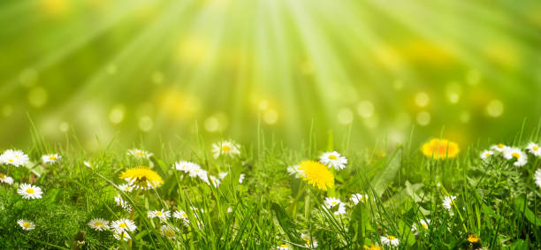 idyllic meadow with daisies and dandelion in sunshine idyllic meadow with daisies and dandelion in sunshine meadow stock pictures, royalty-free photos & images