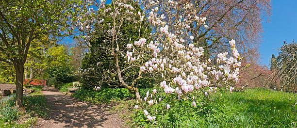 idyllische spring gardens rosa blüte magnolia blumen üppige grüne vegetation - baumgruppe stock-fotos und bilder