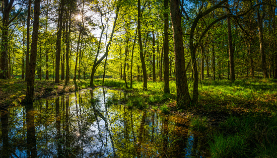 Idyllic sunlit glade green forest foliage reflecting woodland pool panorama