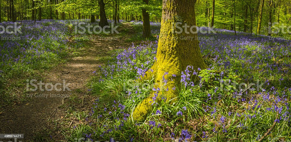 Idyllic trail through bluebell woods vibrant green summer forest panorama stock photo