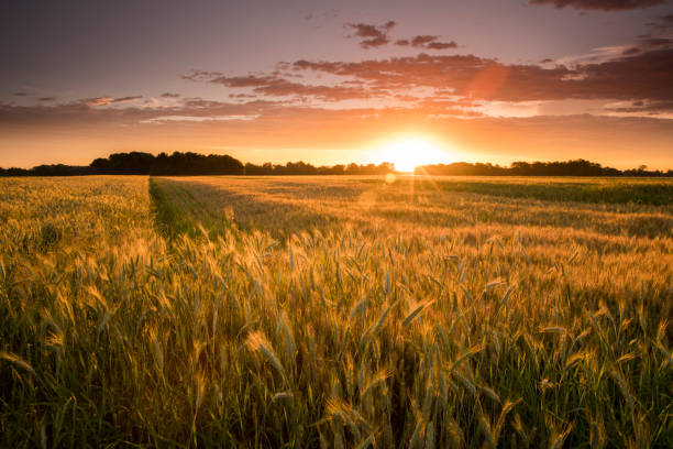 Idyllic view of wheat farm during sunset stock photo